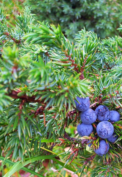 Wacholder, Gemeiner - Juniperus communis var. alpina 5 ml
