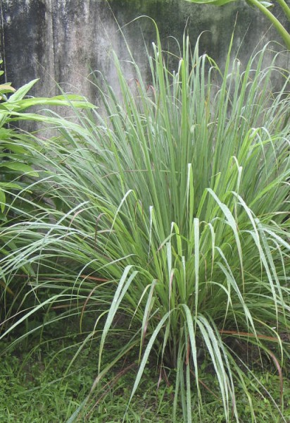 Lemongrass - Cymbopogon citratus 10 ml